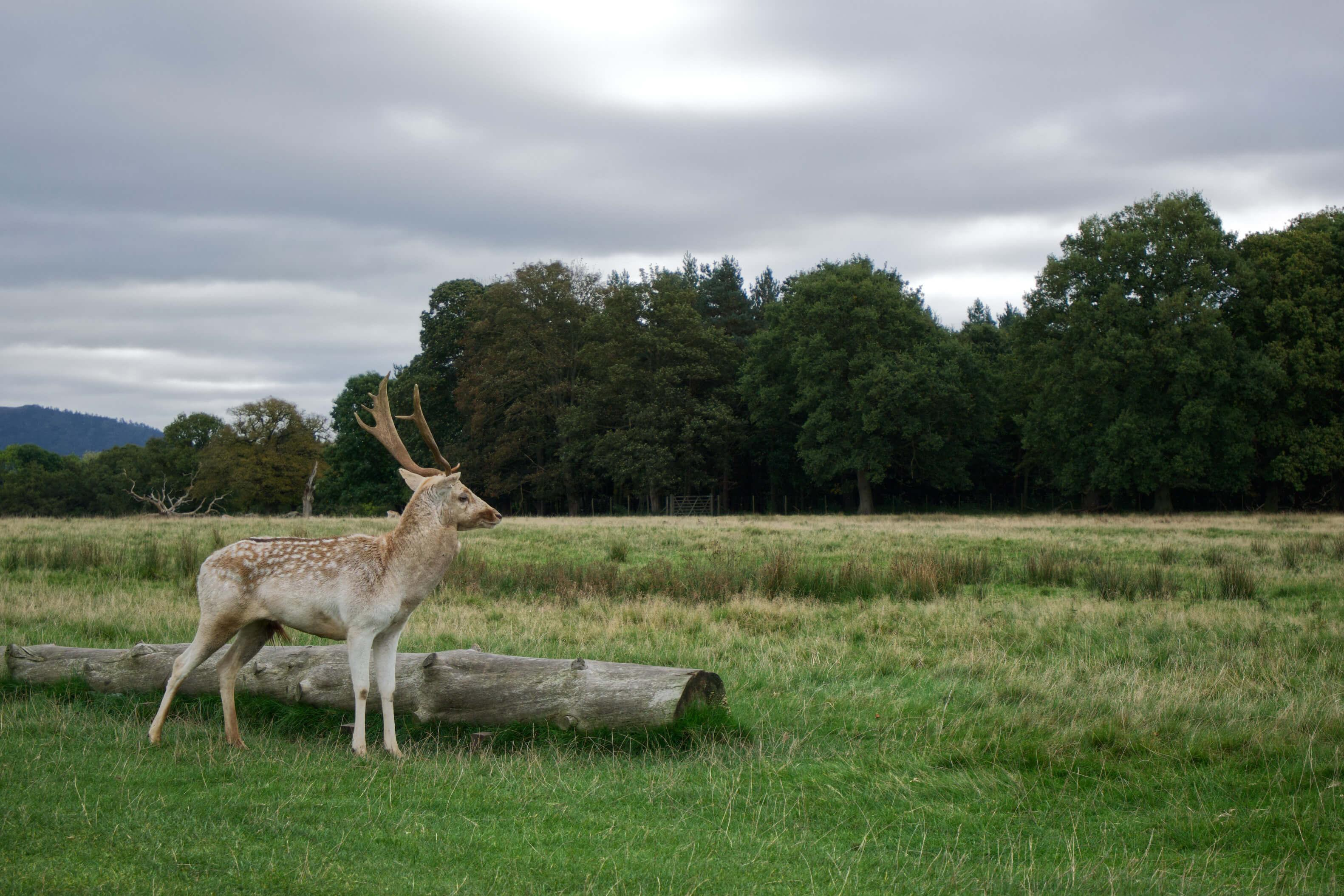A casual stroll around @AttinghamParkNT led to some very angry and majestic deer